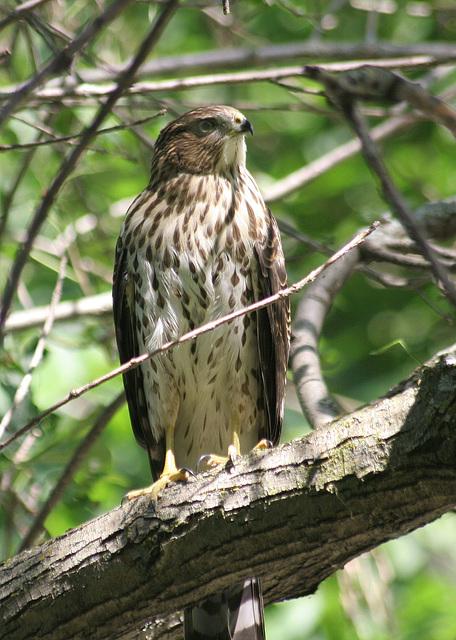 jeune épervier de Cooper/young Cooper's hawk