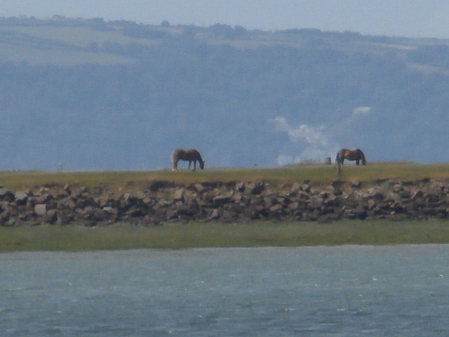 Looking towards Westward Ho and seeing two horses grazing on the Burrows
