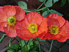 1-10 Project: 3 Poppies