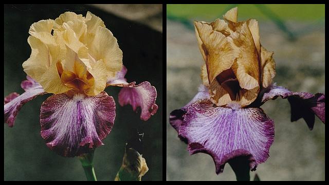 Iris Casbah