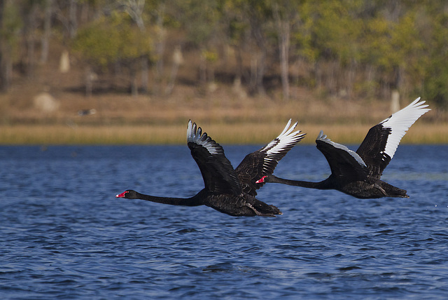 Australian Black Swans in flight