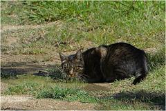 Le Chat du Voisin ...