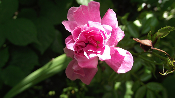 A gorgeous little rambling rose
