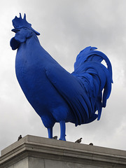 Blue Cock 1