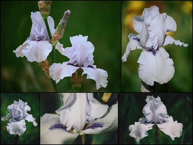 Iris Song of Norway