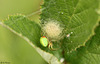 Green Orb-weaver with Egg Sac