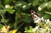 White Admiral Side On