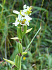 Bee Orchid Ophrys apifera var. chlorantha
