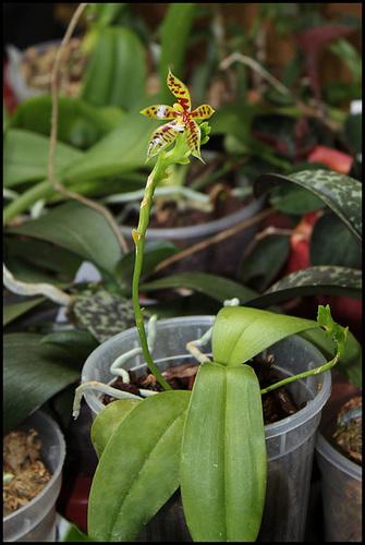 Phalaenopsis lamelligera(forme de cornu-cervi)