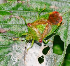 Hawthorn Shieldbug, Acanthosoma haemorrhoidale