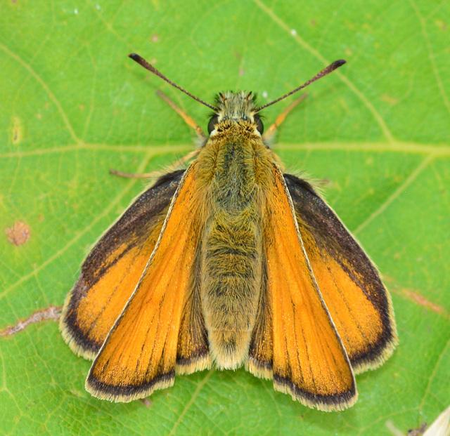 Skipper, ochlodes venatus. female