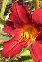 .. a new Day lily