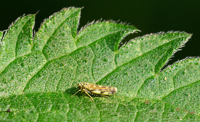 Leafhopper...on a leaf!