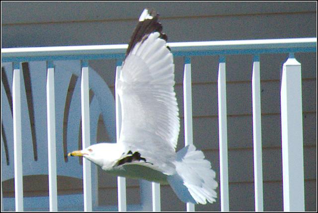 Gull at Play