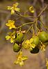 Yellow Kapok with large ants...