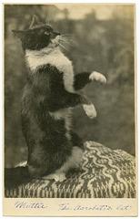 Muttie the Acrobatic Cat