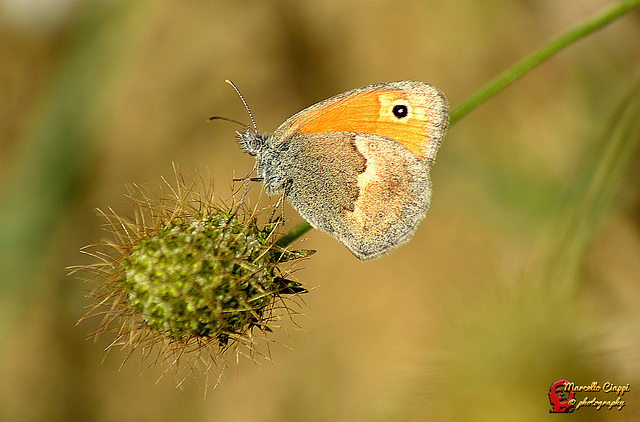 Coenonympha pamphilus  (on explore)