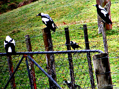Magpies.