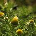 Pineapple Weed Matricaria discoidea
