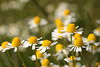 Scentless Mayweed Tripleurospermum inodorum