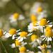 Scentless Mayweed Tripleurospermum inodorum
