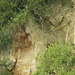 Peregrine Falcon Family Falco peregrinus
