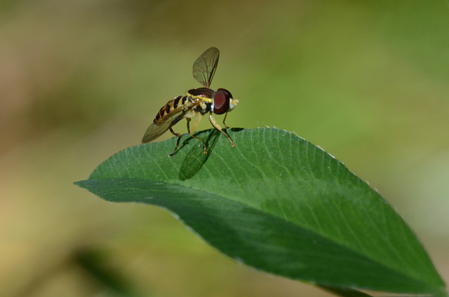 Hoverflies are so cool