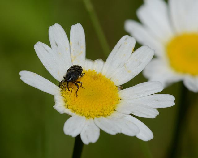 How weevils work