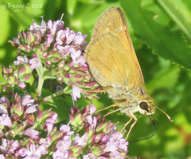 .. a Fiery Skipper