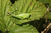 Great Green Bush Cricket Tettigonia viridissima