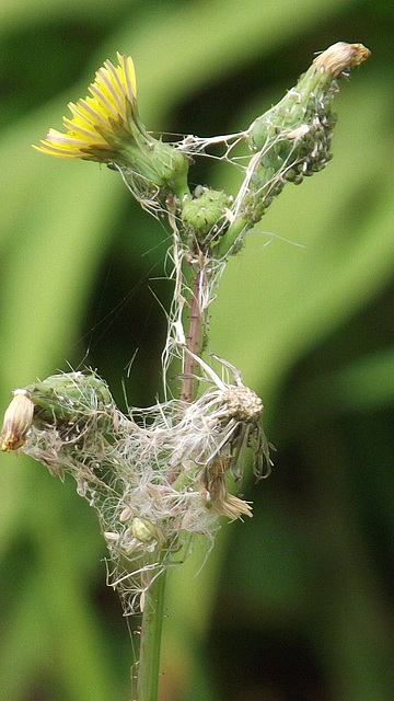 A weed being totally enwrapped with cobwebs