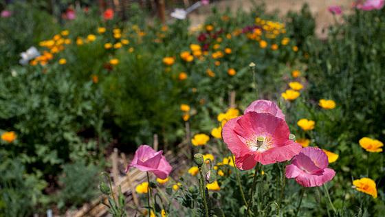 Garden Flora: Sea of Poppies