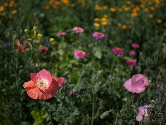 Salmon Pink Corn Poppy in a Sea of Flowers