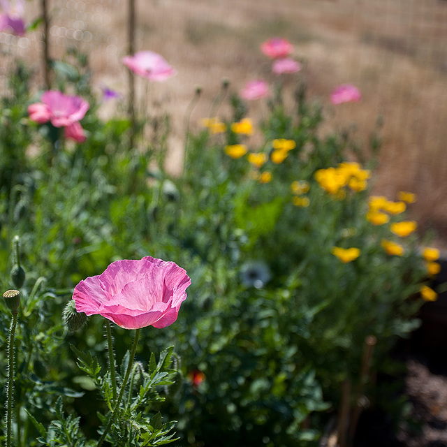 Bright Pink Corn Poppy in a Sea of Flowers