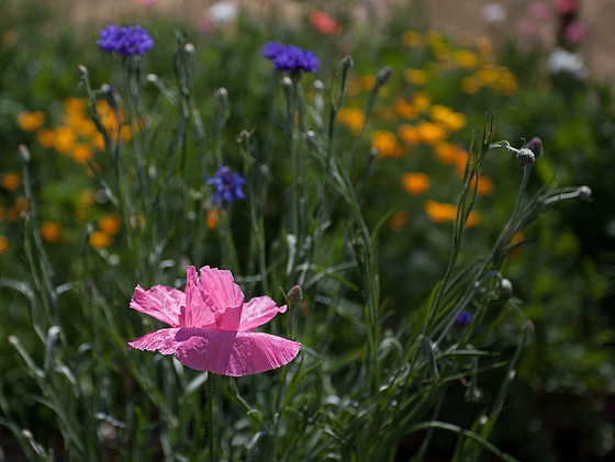 Bright Pink Corn Poppy in a Sea of Poppies