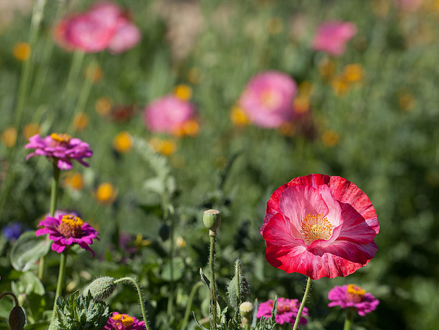 Ruby Corn Poppy with Blush Pink Center in a Sea of Flowers