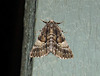 (Cymatophora) aspera