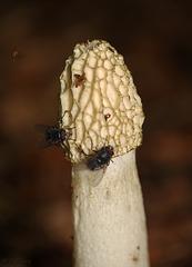Common Stinkhorn Fungi Phallus impudicus