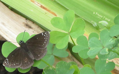 Common Sootywing ..