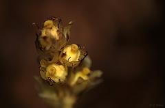 Yellow Birds Nest Flowers