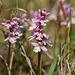 Amerorchis rotundifolia (Round-leaf orchid)
