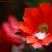 Epiphyllum ackermannii  Explore 134 copy