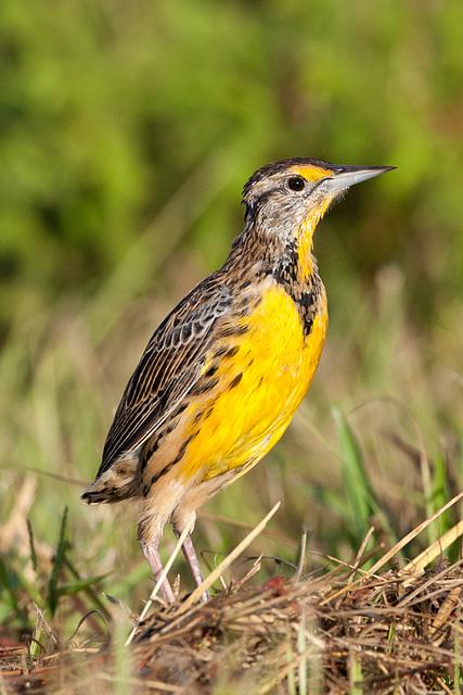 Eastern Meadowlark, Male