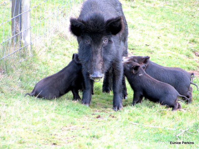 The Three Little Pigs Plus One Plus Mother