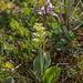 Platanthera obtusata subsp. obtusata forma collectanea and Amerorchis rotundifolia (Round-leaf orchid)
