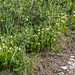 Cypripedium passerinum (Sparrow's-egg Lady's-slipper orchid)