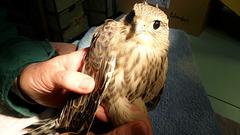 Juvenile Merlin with a Headache