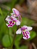 Amerorchis rotundifolia forma lineata (Round-leaf orchid)
