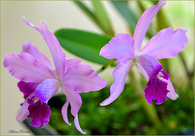 ~ Pink orchids  ~