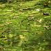 Broad-leaved Pondweed Potamogeton natans